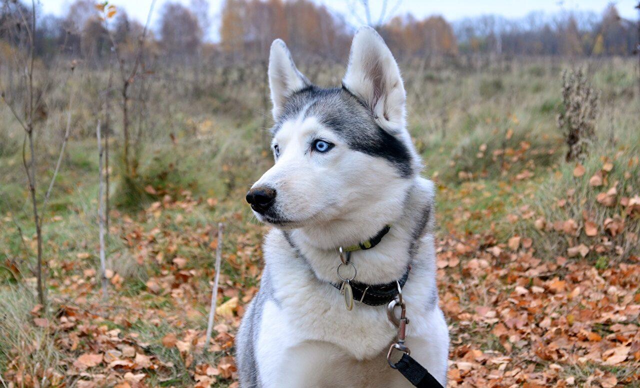 Nombres para perros husky origen