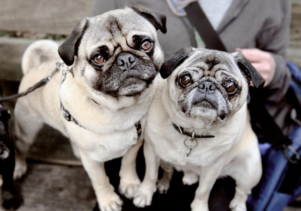 Nombres para perros pug unisex