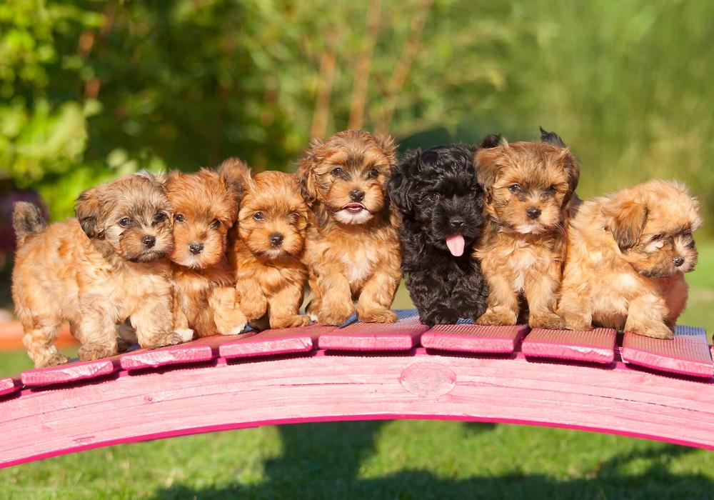 Cruza de perros camadas