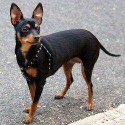 Nombres Originales para Perros Pincher: Macho, Hembra y Más