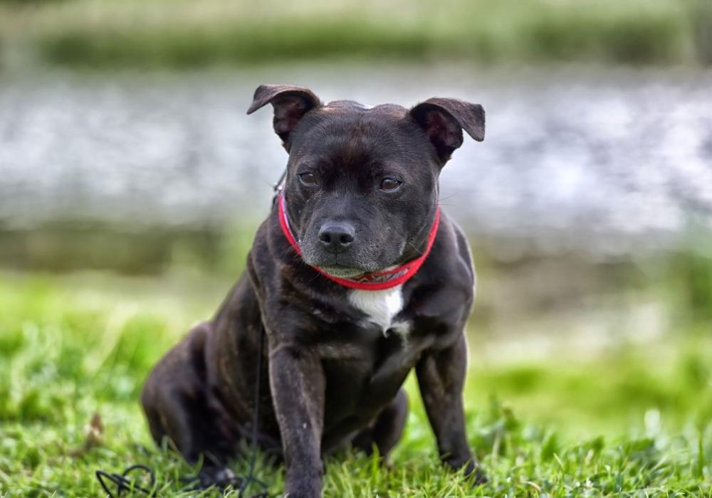 Razas de pitbull Staffordshire Bull Terrier