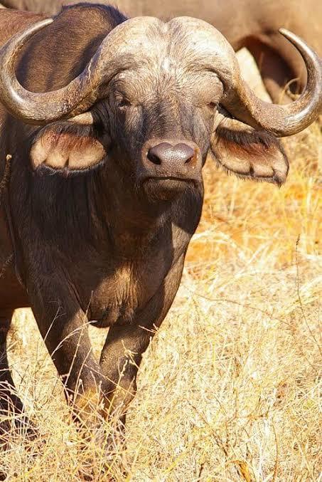 Cabo búfalo animal peligroso