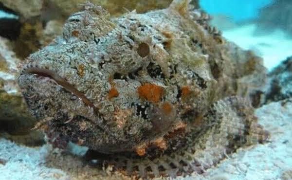El pez piedra animal con mas veneno