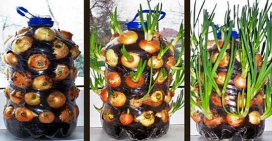 Imagen de Hacer crecer fácilmente cebollas en CASA [Suministro interminable de cebollas]. 1
